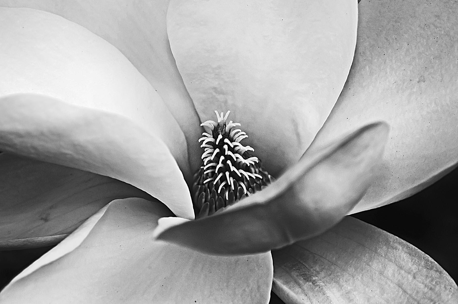 Magnolia Closeup - 442