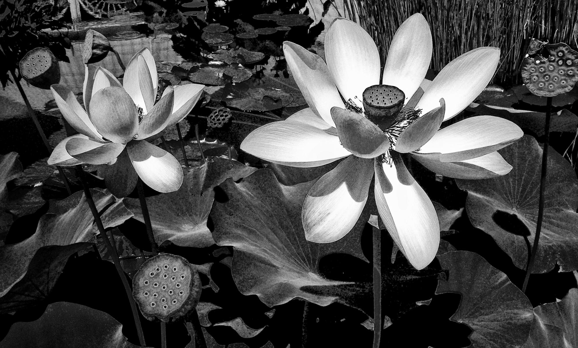 Water Lillies - 230