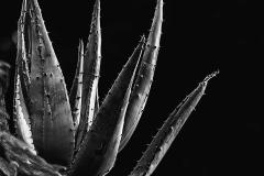 Aloe - 461