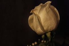 Rose - 459