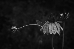 Echinacea - 447