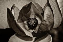 MagnoliaBlossom-441