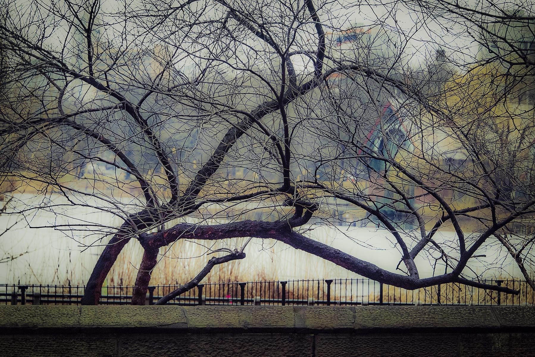 Tree at Harlem Meer - 478