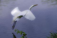 Heron - Central Park NYC - 431