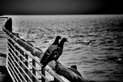 Hudson River Pigeons - Yonkers NY - 306