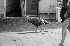 Turkey Trot - 509